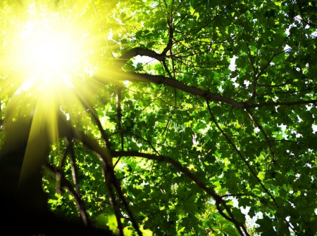 Photo for Crone of tree with sun - Royalty Free Image