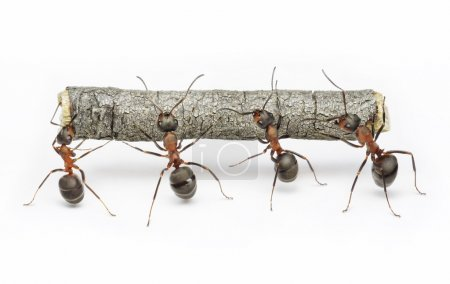 Team of ants work with log, teamwork