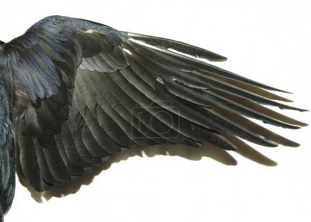 Photo pour Ailes d'oiseau isolées sur un blanc - image libre de droit