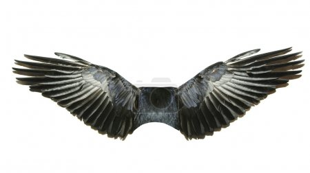 Photo for Bird wings isolated on a white - Royalty Free Image