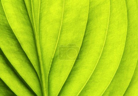 Photo for Structure of leaf natural background - Royalty Free Image