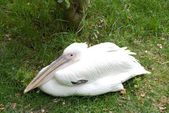 Bílý pelian