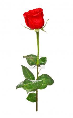 Foto de Rosa roja aislada sobre fondo blanco - Imagen libre de derechos
