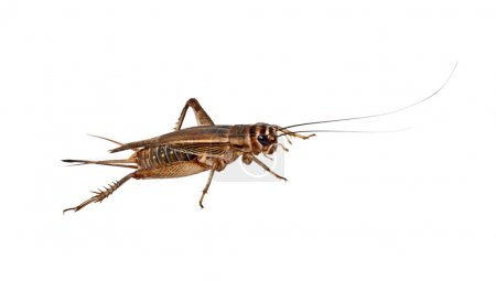 The house Cricket creeps on a white background...