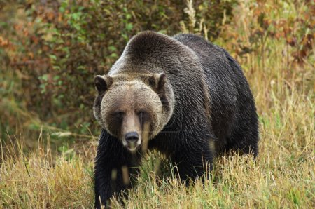 Male Grizzly Bear