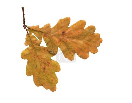 Photo pour Deux feuilles de chêne sèches isolées sur fond blanc avec chemin de coupe - image libre de droit