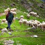 Shepherd at work on italian alps...