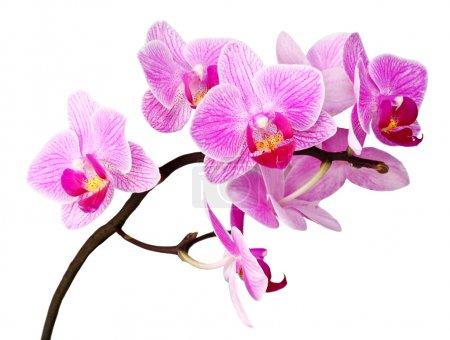 Photo pour Gros plan image de la fleur d'orchidée pourpre sur fond blanc - image libre de droit