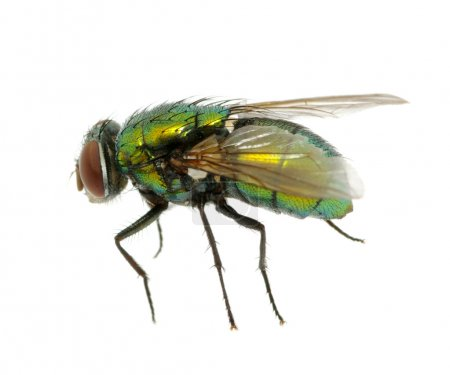 Photo for Green fly isolated on white - Royalty Free Image