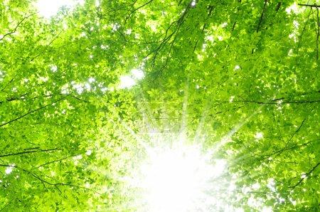 Photo pour Rayons de soleil et feuilles vertes - image libre de droit