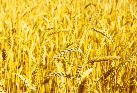 Photo for A field of golden wheat - Royalty Free Image