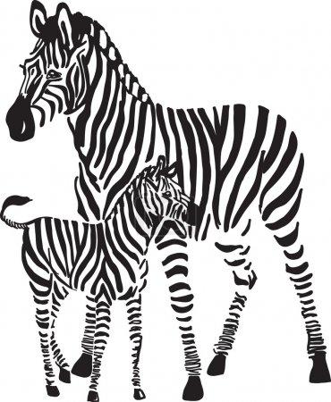 Illustration for Zebras - Royalty Free Image