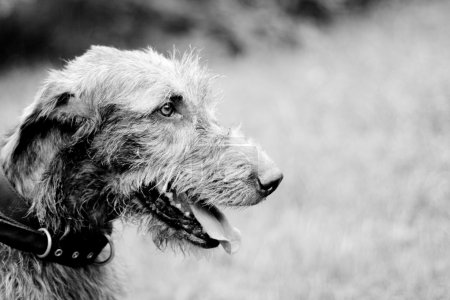 Portrait of irish wolfhound