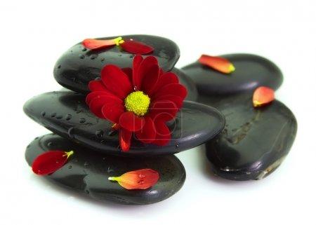 Chrysanthemum petals on stones