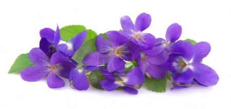 Photo pour Violettes sauvages printemps fleurs fermer - image libre de droit
