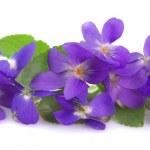 Wild spring violets flowers close up...