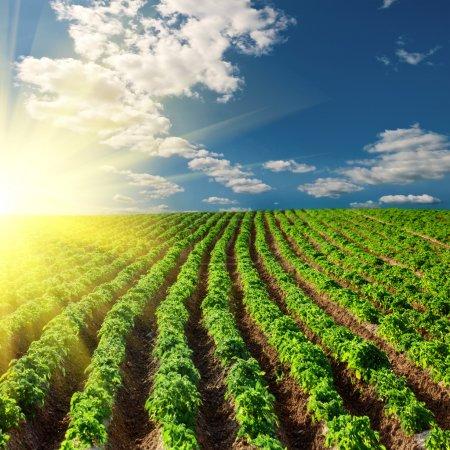Photo pour Champ de pommes de terre sur un coucher de soleil dans le paysage de ciel bleu - image libre de droit