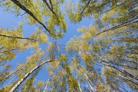 Photo pour Levant les yeux dans la forêt de bouleaux avec lentille grand angle - image libre de droit