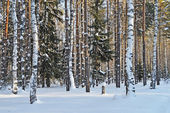 Birches and firs under snow in winter forest
