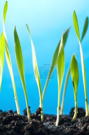 Photo pour Les plantes d'herbe de printemps poussent hors du sol, sur fond bleu - image libre de droit