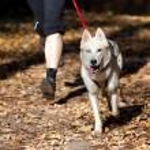 Sports with a dog. Canikross. Siberian Husky...