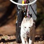 Sports with a dog. Bikejoring. Norwegian metis...