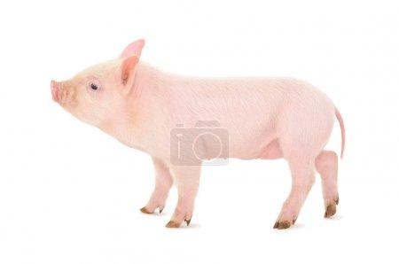 Photo pour Cochon qui est représenté sur un fond blanc - image libre de droit