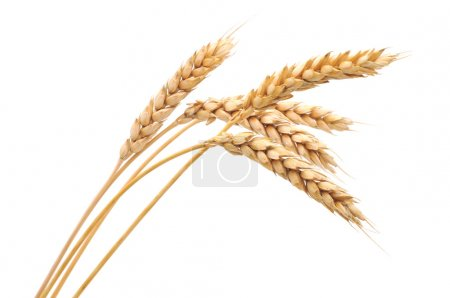 Photo for Isolated bunch of golden wheat ear after the harvest. - Royalty Free Image