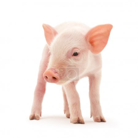 Photo for Pig who is represented on a white background - Royalty Free Image