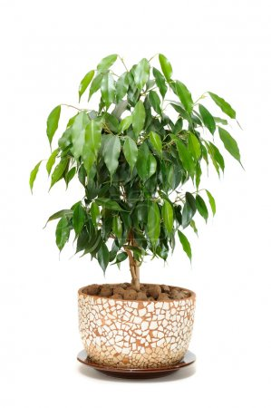 Weeping Fig (Ficus Benjamina) in Pot Isolated on White Background