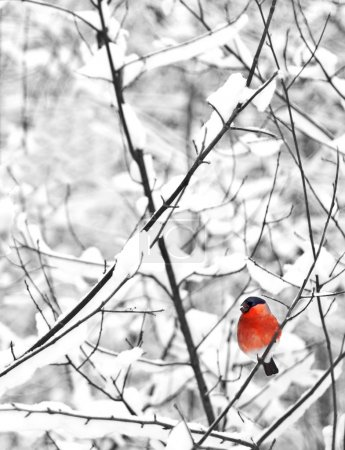 Photo for A male of bullfinch resting on a branch in a winter scene on a background the winter forest Pyrrhula pyrrhula - Royalty Free Image