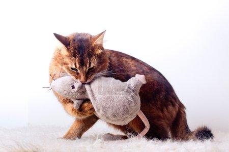 Rudy somali cat