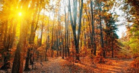 Photo pour Panorama d'une forêt mixte à journée ensoleillée d'automne - image libre de droit