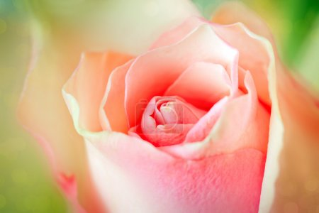 Pink rose close up