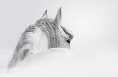 Andalusian horse in a mist