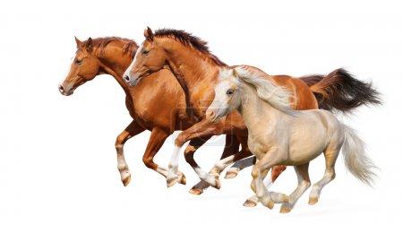 Photo pour Trois galop de chevaux - isolé sur blanc - image libre de droit