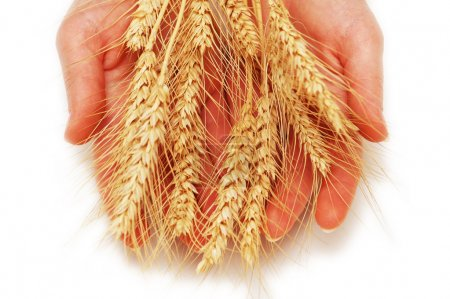 Hands holding wheat ears isolated on white