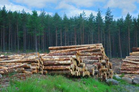 Photo pour Pile de bois en forêt écossais - image libre de droit