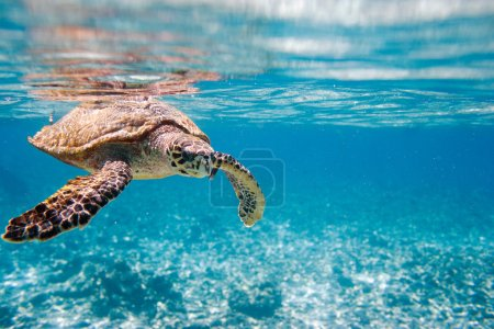 Hawksbill sea turtle swimming in Indian ocean in S...