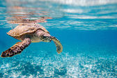 "Постер, картина, фотообои ""Hawksbill sea turtle"""