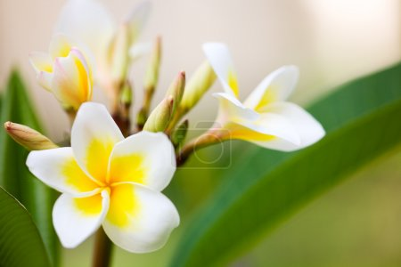 Photo for Beautiful white frangipani flowers in tropical garden - Royalty Free Image