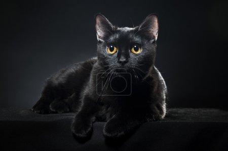 British black cat