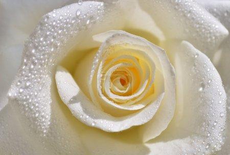 Photo pour Rose blanche aux pétales doux et aux gouttes d'eau transparentes - image libre de droit