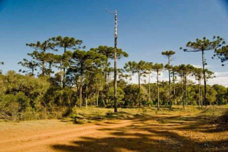Araucaria Pine Tree