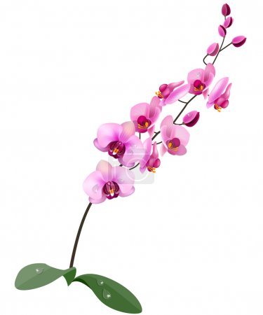 Illustration for Orchid pink flower isolated on white background - Royalty Free Image