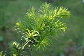 Yew tree (Taxus cuspidata).