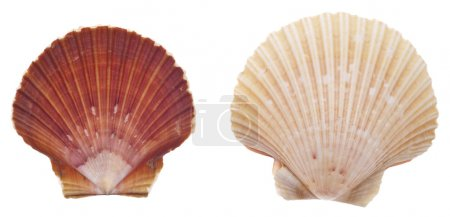 Sea Shell Isolated on White