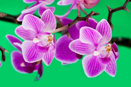 Photo for Pink orchid on green background - Royalty Free Image