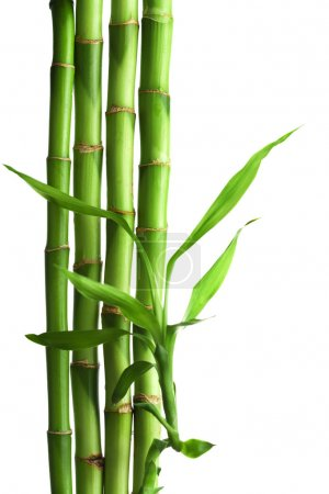 Photo for Bamboo isolated - Royalty Free Image