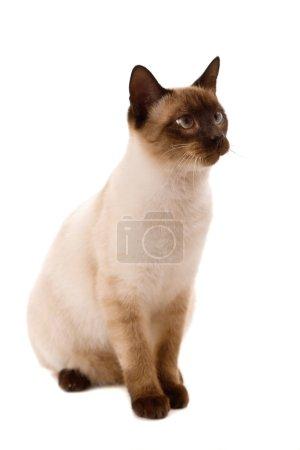 Photo pour Jeune chat qui regarde bien. Sur fond blanc - image libre de droit